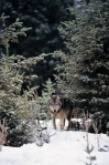 Wolf-in-winter-Jan3114MSOfcClipArt