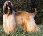 Afgan-hound-220px-Biju2005a_May1014wiki-sized