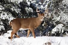 Majestic-large-deer-named-bySam_Nov2815freephotocourse-sized
