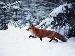 red-fox-in-the-snow_p_Nov2615wolf-rpg_sized