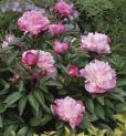 Peony-flower-bush-byTania-Midgely-Corbis_May0816viaKidsBritannicaCom