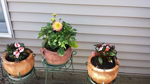2016--Deck-pot-flowers-2pinkstripedimpatiens-pinkyellowdahlia-incenter_Jun0516grati