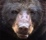 Bear--image-for-big-male-bear-is-image-02-small_July0416viaPBSorg-wgbh-B