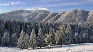 snowy-pine-forest_Nov2315pinterest