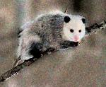 330px-opossum_2_oct3016wiki-bkgrnd-mask1-filter-grain