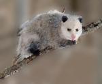 330px-opossum_2_oct3016wiki-bkgrnd-mask1-filter-sprayedstrokes