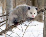 330px-opossum_2_oct3016wiki