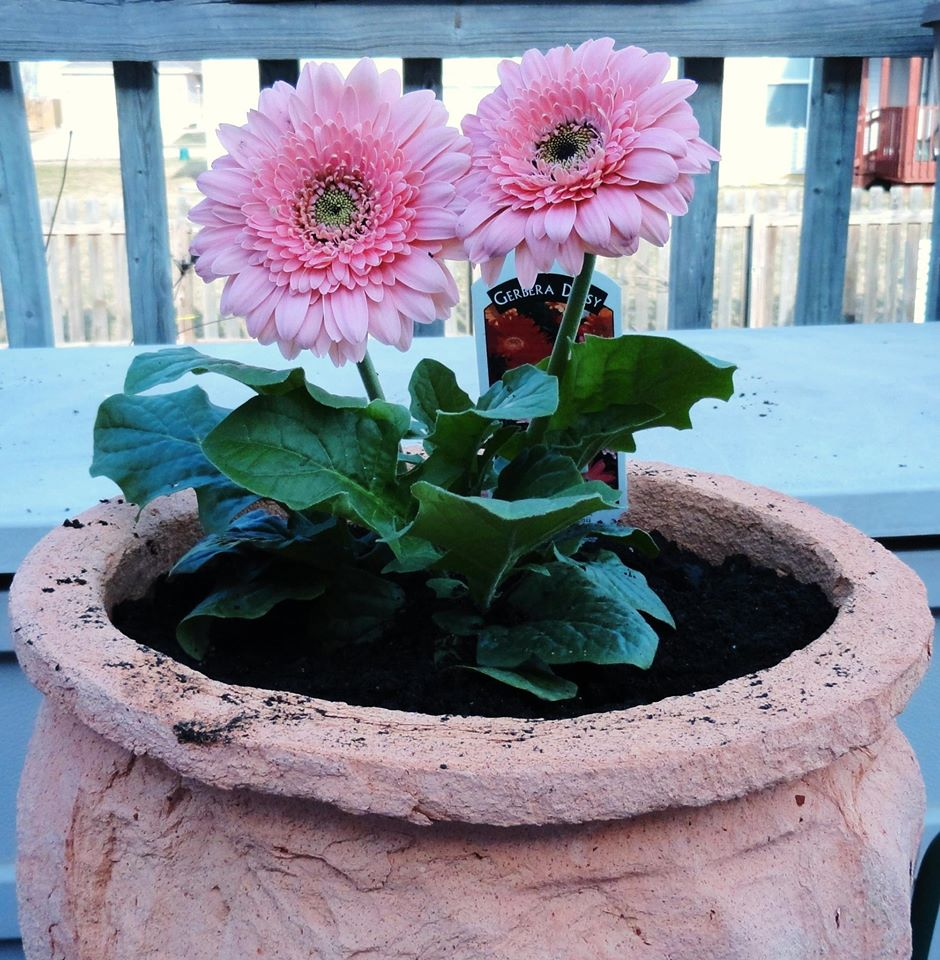 Flowers--2013-Gratis-pink-gerber-daisies-in-pot-on-deck_Apr072013byGrati