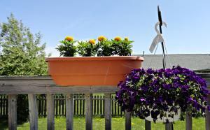 zznature-2014-blackcherrytree-yellowmarigolds-purplepansies-dsc01868_may1014gratianalovelace